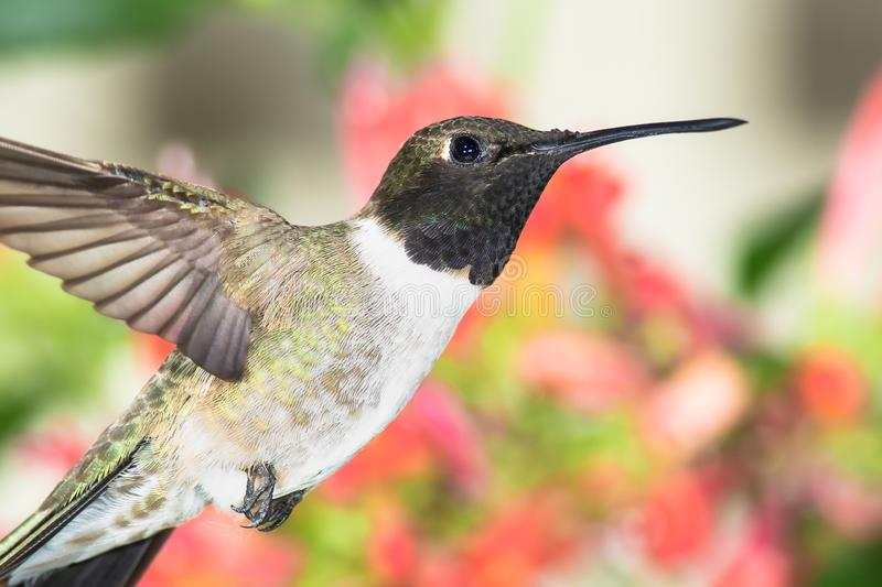 Black-Chinned Hummingbird Searching for Nectar Among the Red Flowers stock images