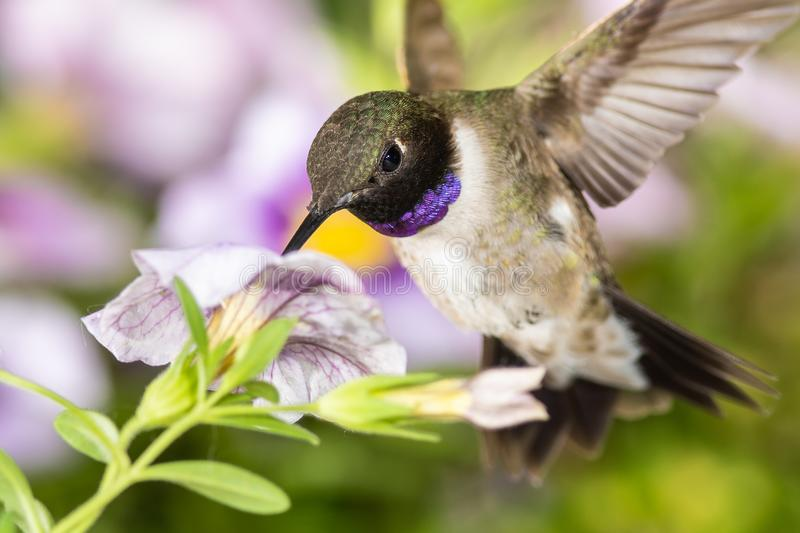 Black-Chinned Hummingbird Searching for Nectar Among the Violet Flowers royalty free stock photo