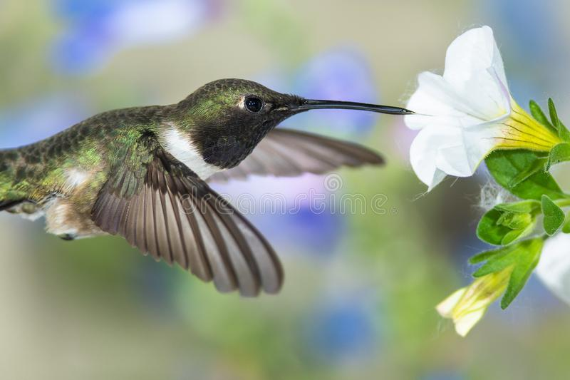 Black-Chinned Hummingbird Searching for Nectar Among the White Flowers royalty free stock photos