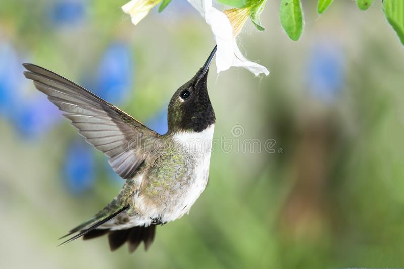 Black-Chinned Hummingbird Searching for Nectar Among the White Flowers stock photo