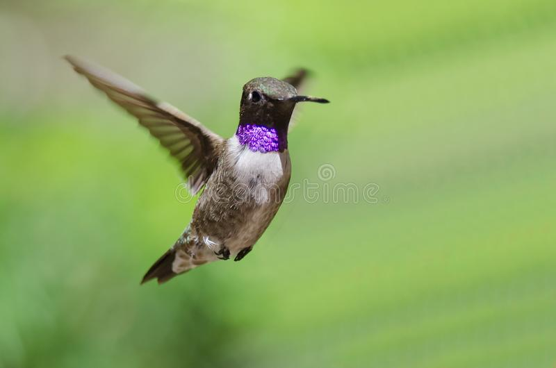 Black-Chinned Hummingbird with Throat Aglow While Hovering in Flight. Adorable Black-Chinned Hummingbird with Throat Aglow While Hovering in Flight royalty free stock photos