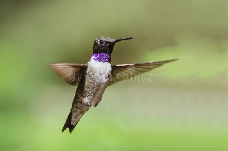 Black-Chinned Hummingbird with Throat Aglow While Hovering in Flight. Male Black-Chinned Hummingbird with Throat Aglow While Hovering in Flight royalty free stock photography
