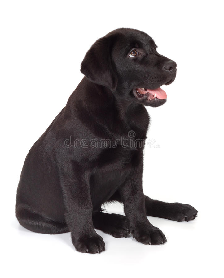 Black-Chocolate Labrador Retriever Puppy royalty free stock photo