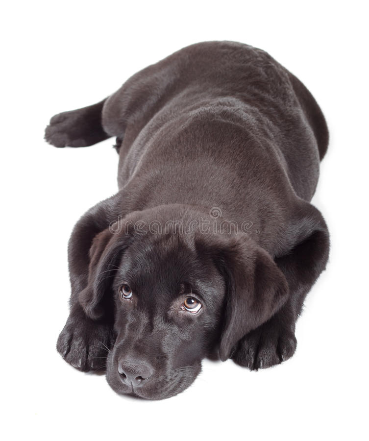 Black-Chocolate Labrador Retriever Puppy. 3 months old isolated on white background royalty free stock image