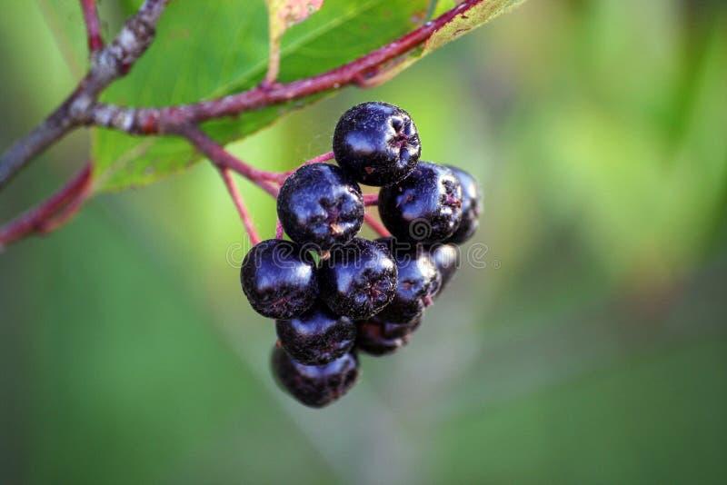 Black chokeberry, Aronia melanocarpa stock images