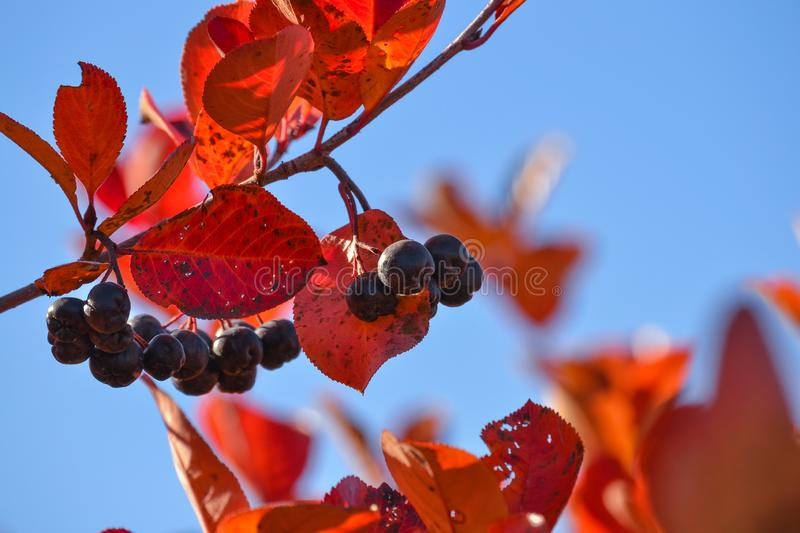 Black chokeberry Aronia melanocarpa. Red leaves against the blue sky. Autumn sunny day. Black chokeberry Aronia melanocarpa. Red leaves against the blue sky stock images