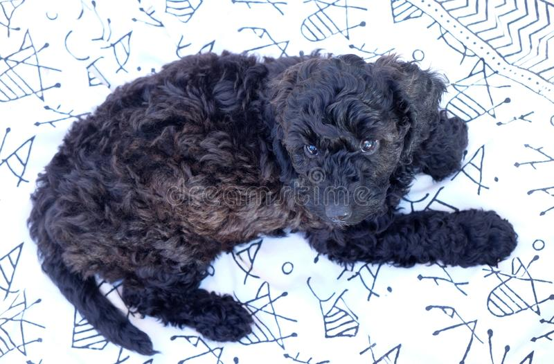 Black cockapoo puppy lying down stock images