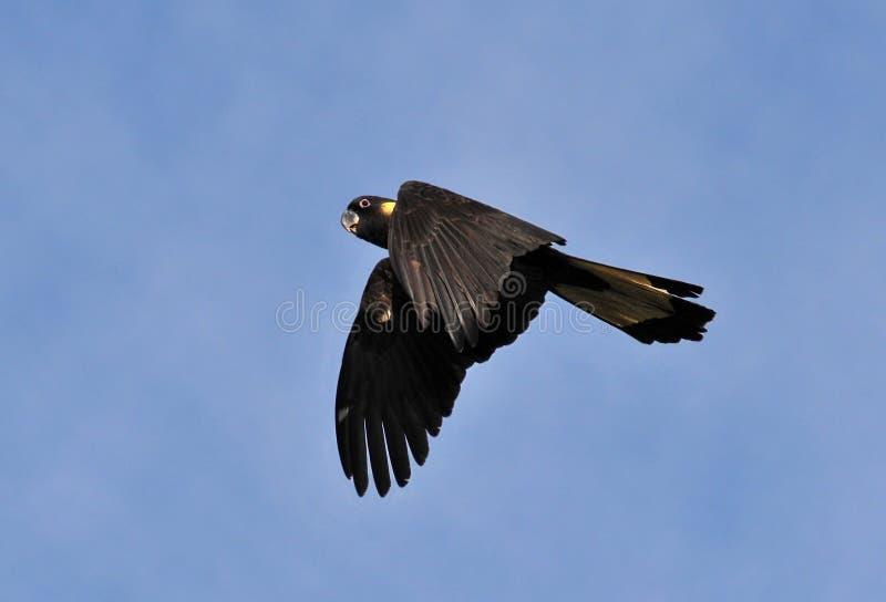 Black Cockatoo royalty free stock photo