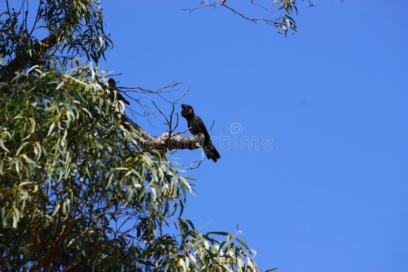 Black cockatoos royalty free stock image