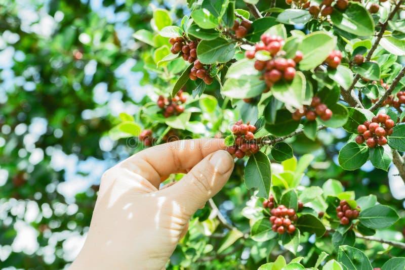 Black Coffee Fruit Picked During Daytime Free Public Domain Cc0 Image