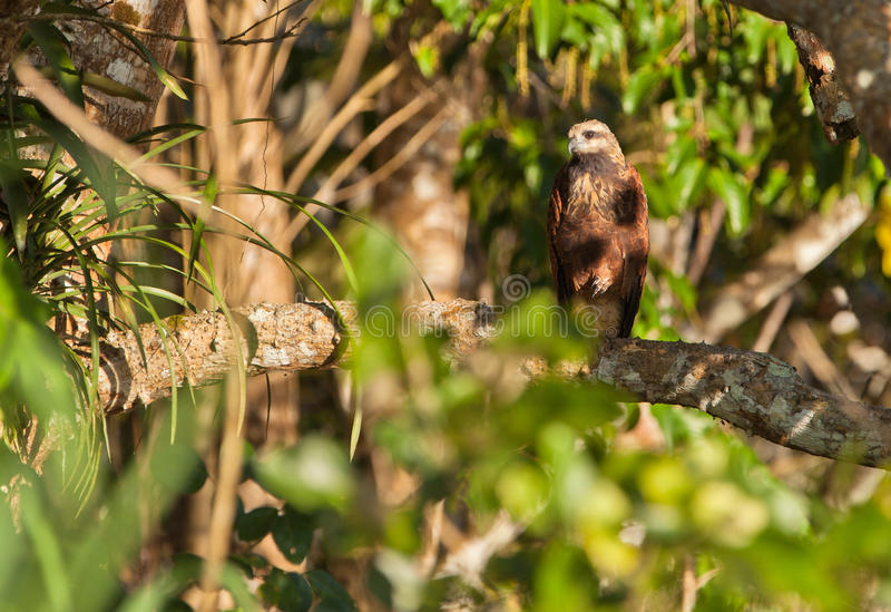 Black-collared Hawk royalty free stock photo