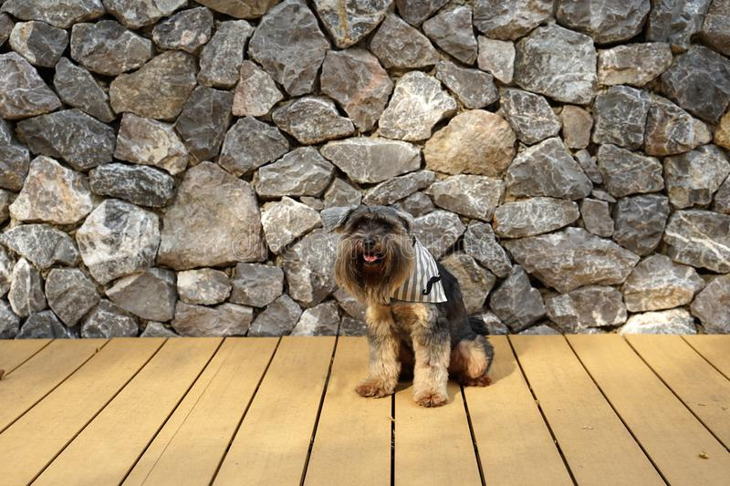 Black color mixed breed terrier dog wearing bandana sitting on the timber floor. With textured stone wall background stock images