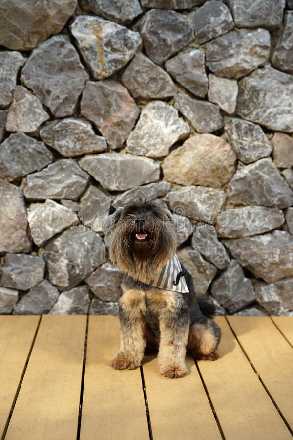 Black color mixed breed terrier dog wearing bandana sitting on the timber floor. With textured stone wall background stock photos