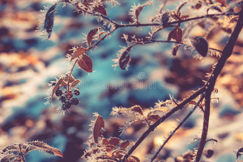 Black colored berries hanging from twigs glazed with frost and white spikes on sunny winter day. Attractive, colourful image for b royalty free stock photography