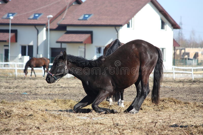 Black colt lying down on the ground stock image
