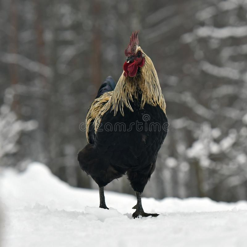 Black combed rooster of old resistant breed Hedemora from Sweden on snow in wintery landscape. stock photos