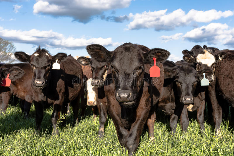 Black commercial Angus crossbred heifers. In a lush green spring pasture stock photos