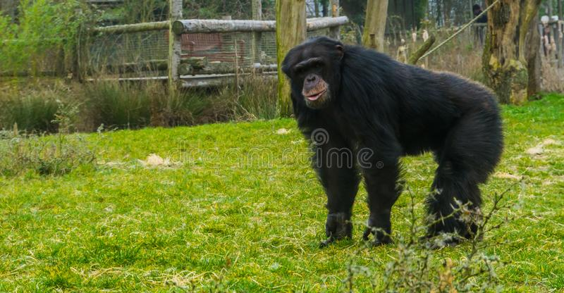 Black common chimpanzee standing in the grass pasture and looking towards the camera, Endangered animal species. A black common chimpanzee standing in the grass royalty free stock photos