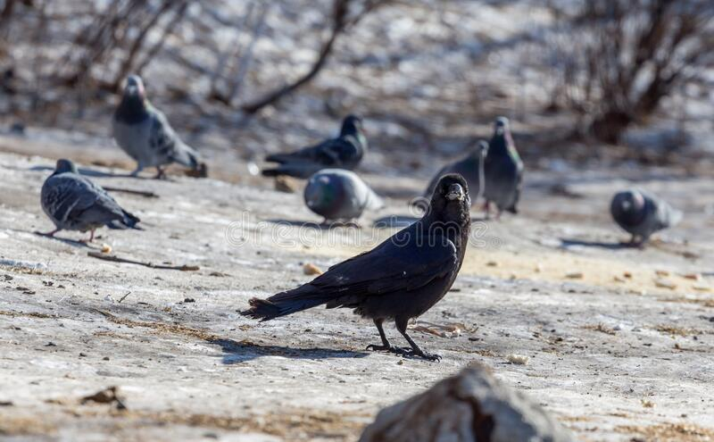 Black common raven Corvus corax or northern raven sits on the snowy ground. Few doves on background. Birds and birdwatching. Fauna and nature. Birds in the royalty free stock image