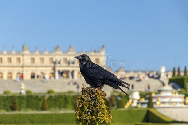 Black common raven with Versailles castle on the background royalty free stock images