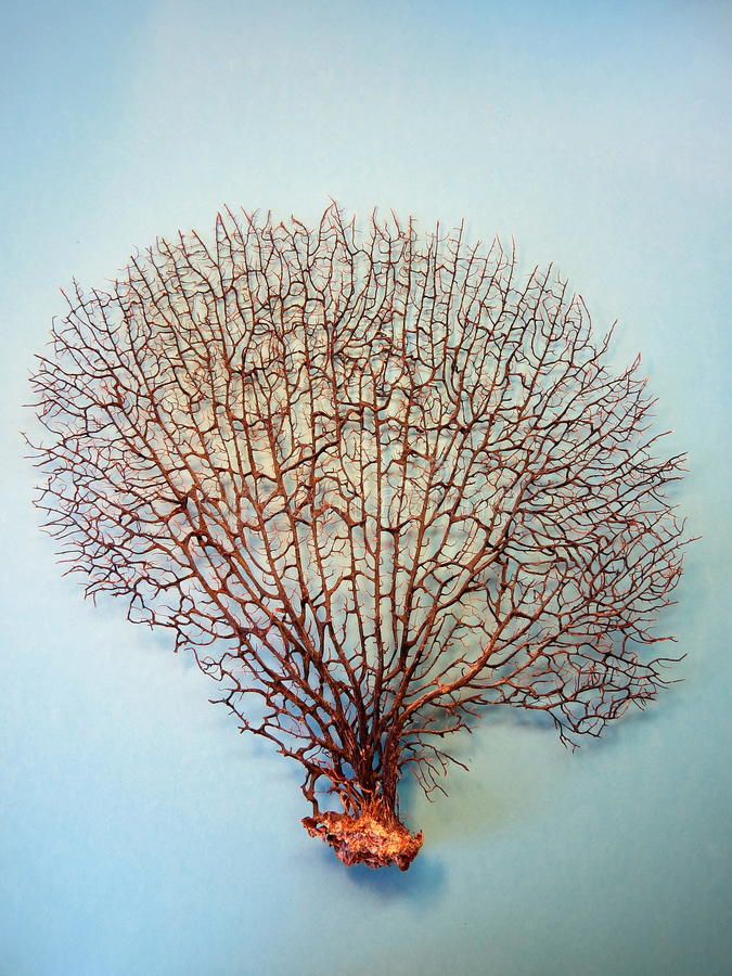 Black coral stock images
