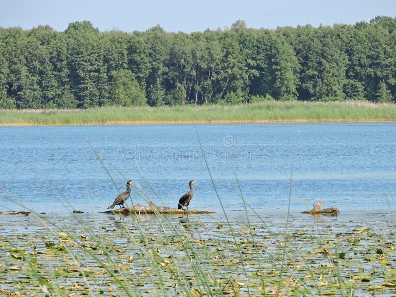 Black Cormorant birds on tree branch in lake, Lithuania royalty free stock photo