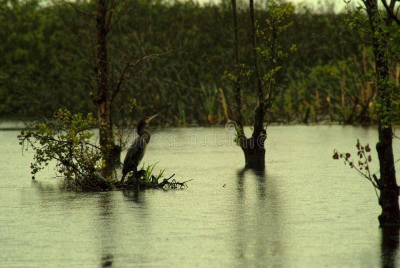 Black Cormorant, Phalacrocorax niger, near lake. Water bird, raining royalty free stock image