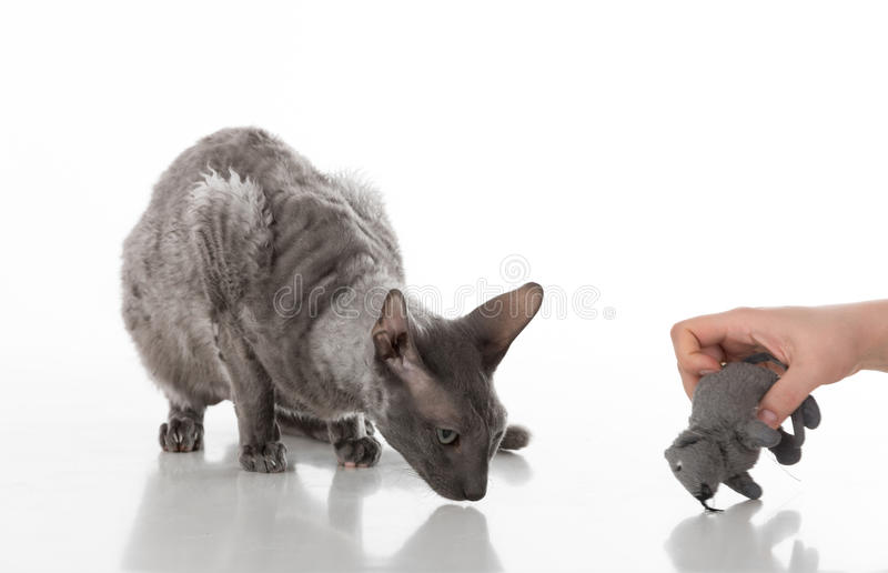 Black Cornish Rex Cat Sitting on the White Table with Reflection. White Background. Woman Hand with Mouse Toy. royalty free stock photography