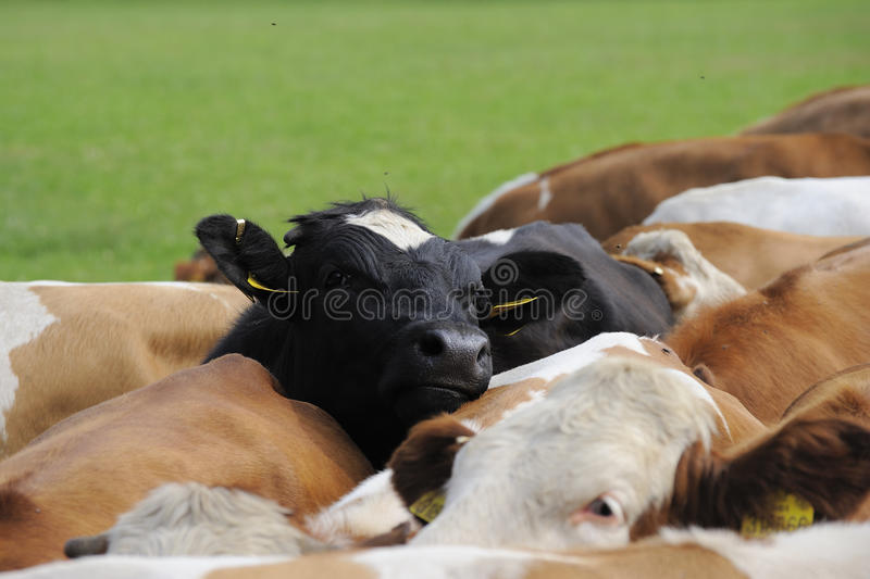 Black cow in drove. On a grass field stock photography