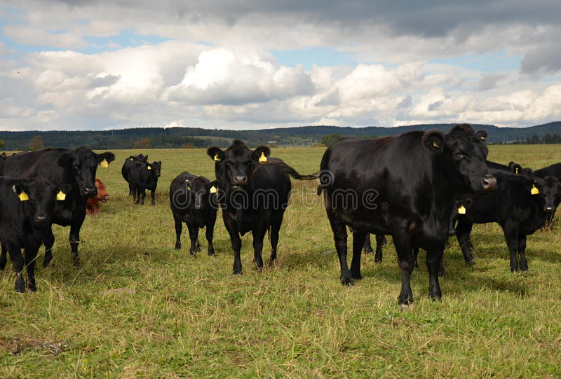 Black cow - meat breed Aberdeen-Angus royalty free stock images