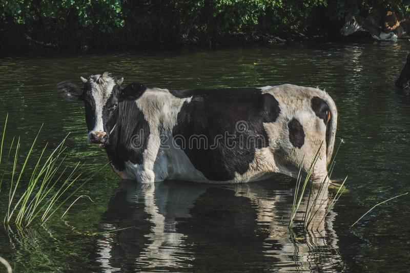 black and white cow at the watering place near the small river royalty free stock photo