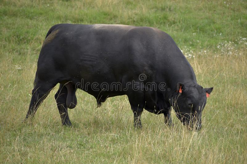 Black cows are grazing on the meadow. Beef cattle on the pasture. stock photos