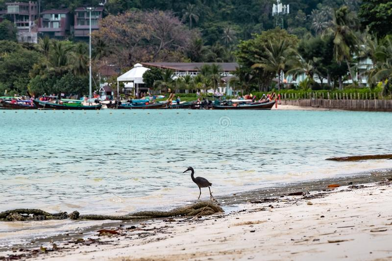 Black crane fishing at a beach in Phi Phi Island. Food chain.  royalty free stock images