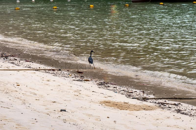Black crane fishing at a beach in Phi Phi Island. Food chain.  royalty free stock photo