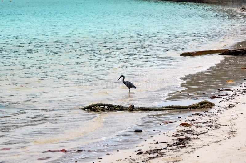 Black crane fishing at a beach in Phi Phi Island. Food chain.  stock images