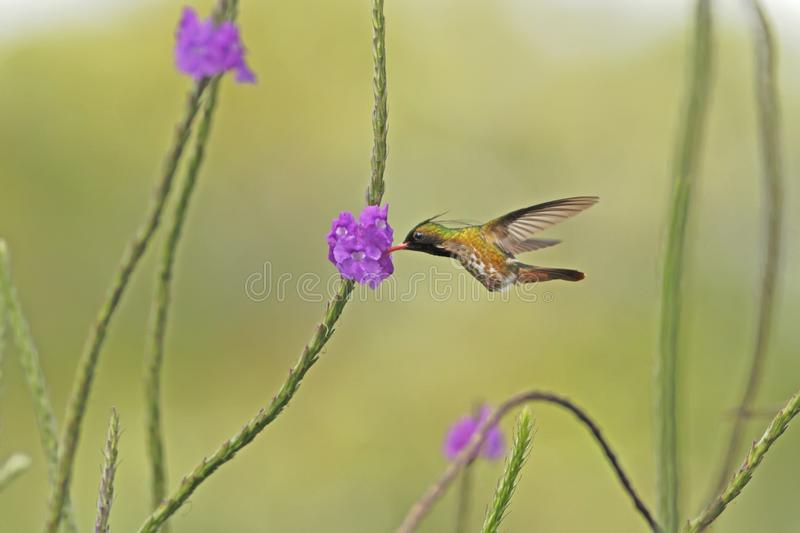Black-Crested Coquette - Lophornis helenae, hovering next to violet flower in garden,bird from mountain tropical forest,Costa Rica. Black-Crested Coquette stock photo