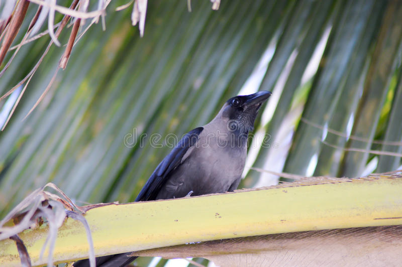 Download Black Crested Stock Photo - Image: 83716347