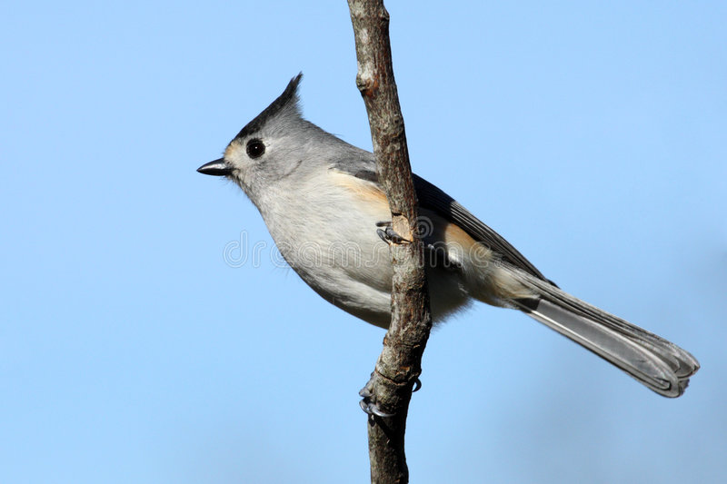 Black-crested Titmouse Royalty Free Stock Images