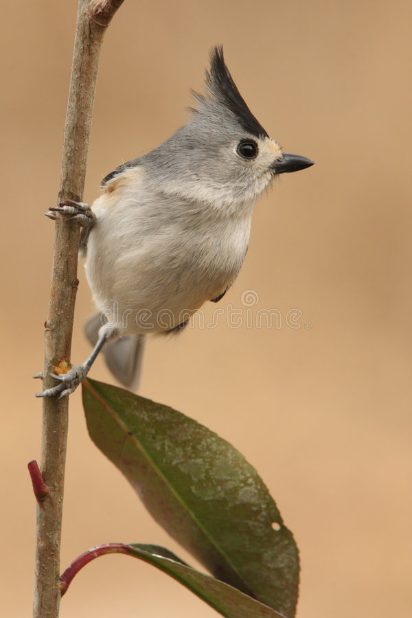 Download Black-crested Titmouse Stock Images - Image: 8046594