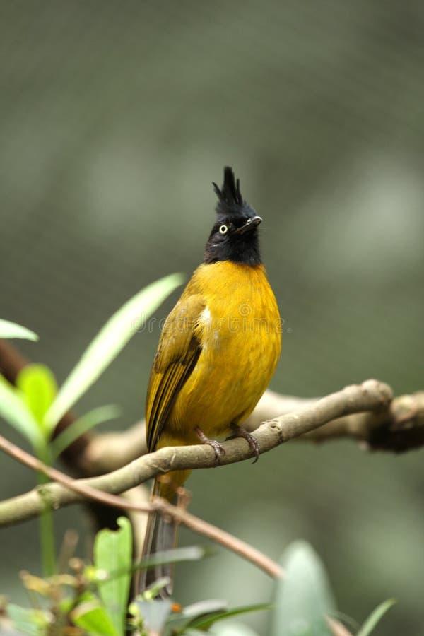 Black-crested Yellow Bulbul stock photography