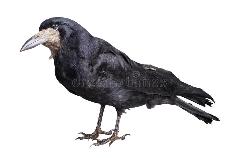 Download Black crow stock photo. Image of creature, dark, alone - 20564902
