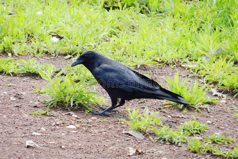 Download Black crow stock image. Image of lawn, field, rook, carrion - 26807977