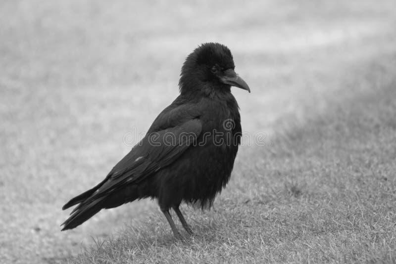 Black Crow Free Public Domain Cc0 Image