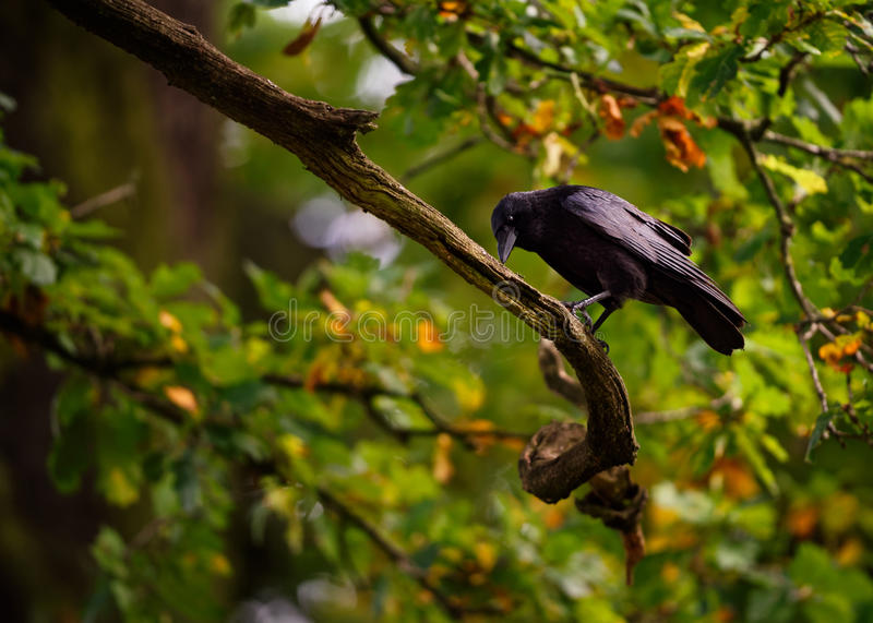 A Black Crow in Autumn. An adult black crow is seen pecking at the branch of a tree with early autumn coloured leaves royalty free stock images