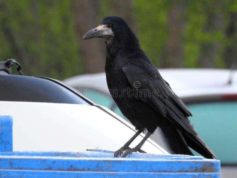 Black crow bird on metallic surface, Lithuania stock images