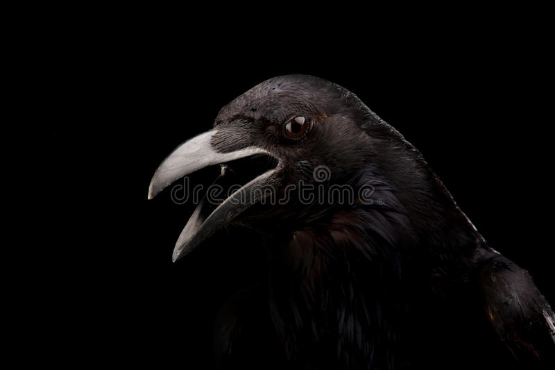 Black crow in black royalty free stock photos