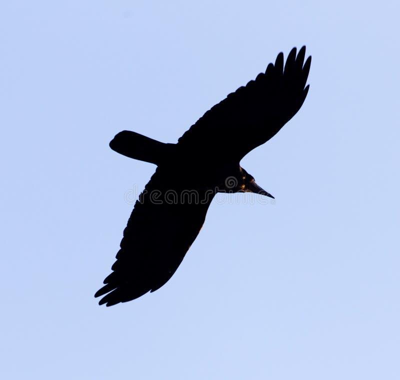 Black crow on blue sky in flight royalty free stock photo