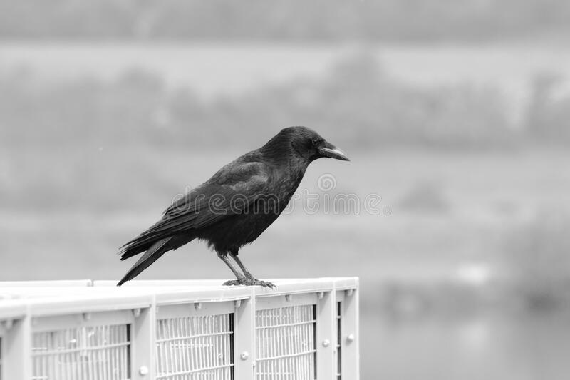 Black crow on cage outdoors royalty free stock photography