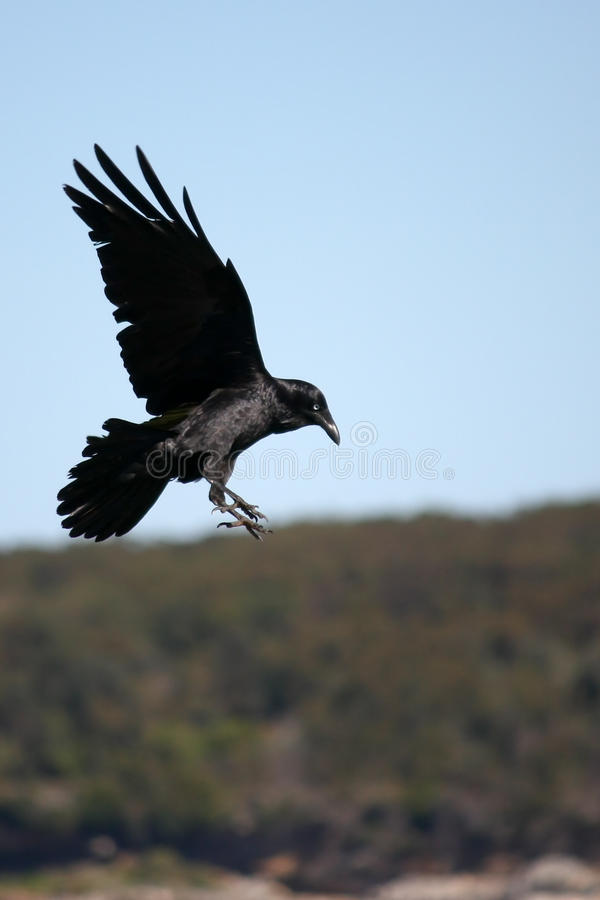 Download Black Crow Coming In To Land. Stock Photography - Image: 10664152