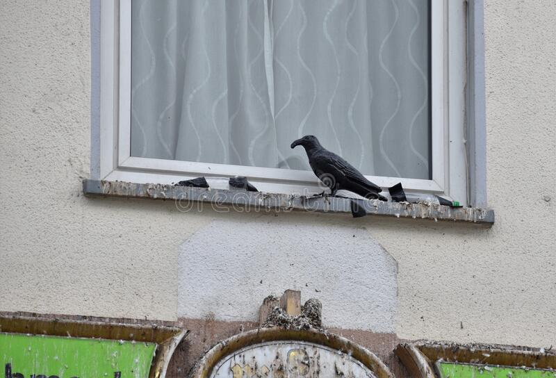 Black Crow decoy not working as window is full of bird poop. Common sigh in Germany where scary black decoy crows are placed on windowside but they are effective stock image
